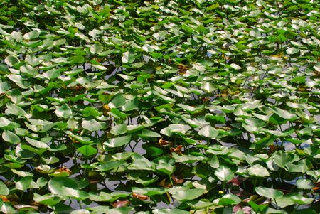 Florida lake covered in lilly pads