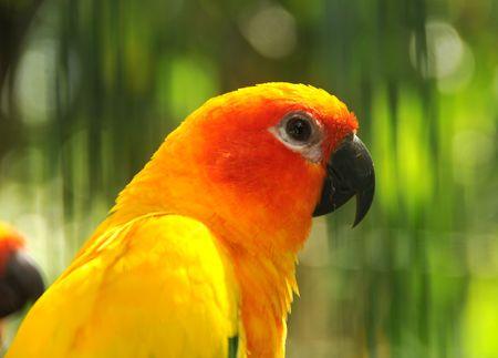 Head shot of rare smuggled Amazon parrot photo