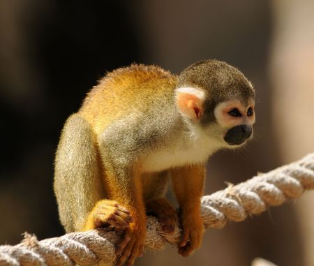 Small monkey on a rope