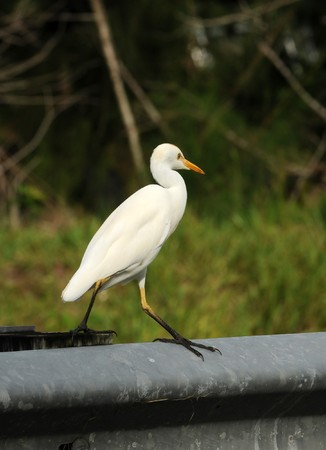 Cattle egret commonly seen bird in Florida