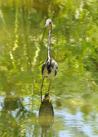 WIld tricolored heron in the Florida swamp 版權商用圖片