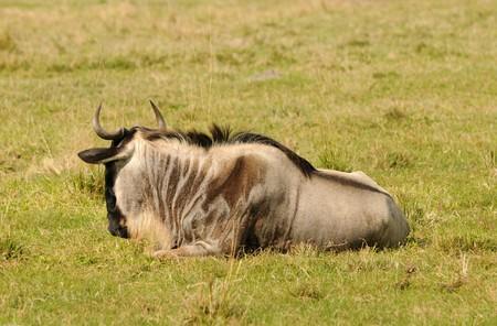 Big and heavy antelope gnu (wildebeest) resting 版權商用圖片 - 4102830