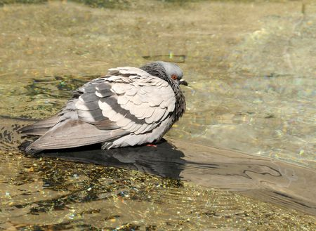 Urban pigeon taking a bath in a water fountain