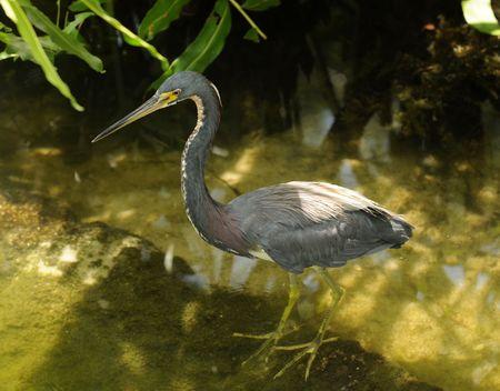 tri: Small tri colored heron in the Florida Everglades