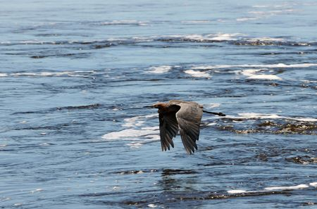 Dark red heron flying over the sea photo