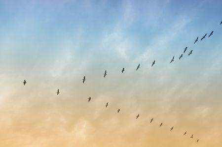 編隊飛行茶色のペリカンの大規模なグループ