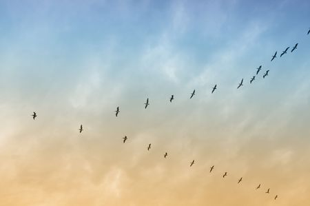 Large group of brown pelicans flying in formation