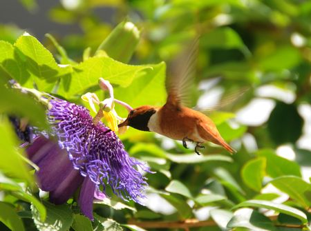 Rufous hummingbird (Selasphorus rufus) adult male photo