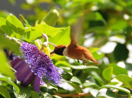 rufous: Rufous hummingbird (Selasphorus rufus) adult male Stock Photo