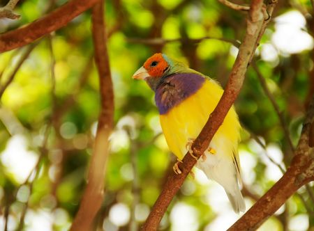 Exotic colorful finch in its natural environment photo