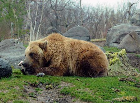kamchatka: Giant grizzly bear in Kamchatka, Russia