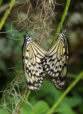Two butterflies in a mating act