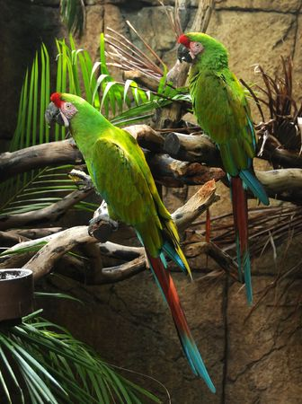 Pair of colorful green Amazon parrots photo
