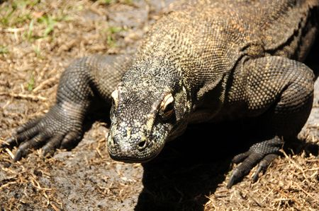 Komodo dragon (Varanus komodoensis) in natural habitat Stock Photo - 4912649