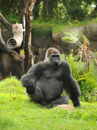 Giant male silverback gorilla resting photo