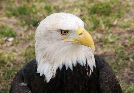 Portrait view of proud bold eagle Imagens