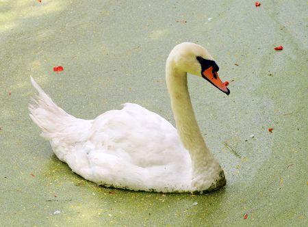 muddy: White swan swimming in a muddy lake