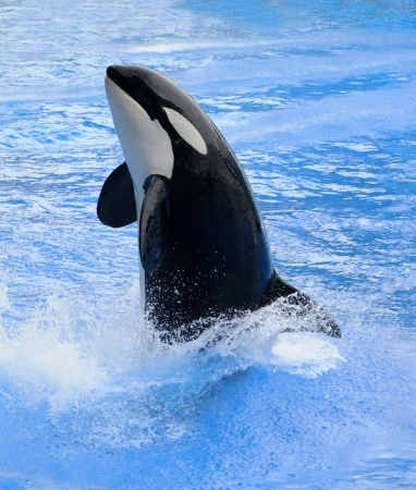 killer whale: Killer whale jumping out of the blue water (Orcinus orca)