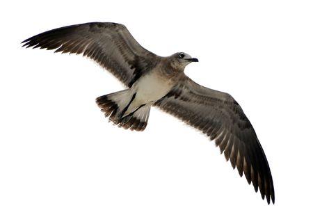 osprey: Osprey in flight isolated on white Stock Photo