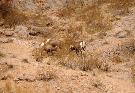 Group of bighorn sheep coomonly seen in the American Southwest Stock Photo - 6147968