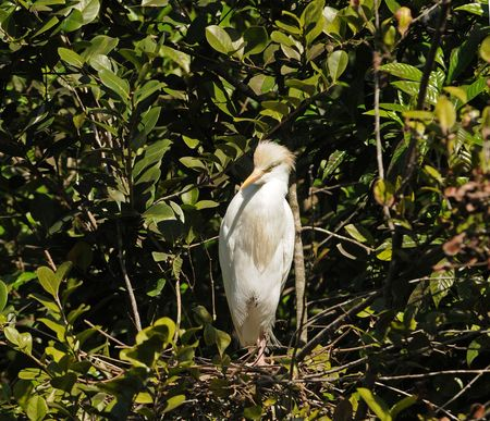 Cattle egret nest in the Florida Everglades