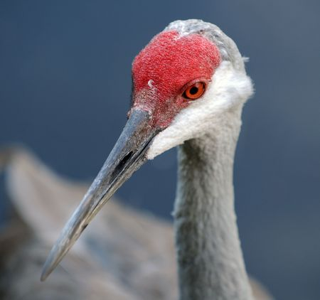 Sandhill crane commonly seen in tropical Florida photo