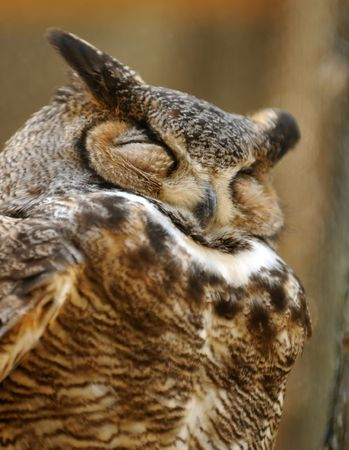 Great horned owl standing with eyes closed 版權商用圖片
