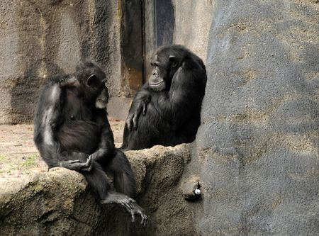 Two chimps sitting on a rock photo