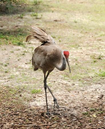sandhill crane: Sandhill crane seen in the Florida Everglades