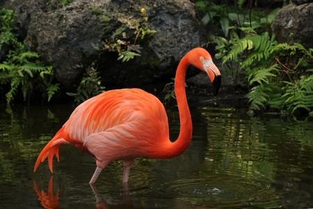 Pink flamingo found in the Florida Everglades Stock Photo - 7028735