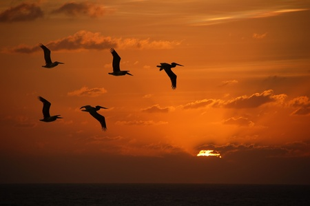 Flock of pelicans flying into the sunset over the Caribbean Stock Photo
