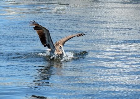 Brown pelican on the Florida coast Stock Photo - 13807526