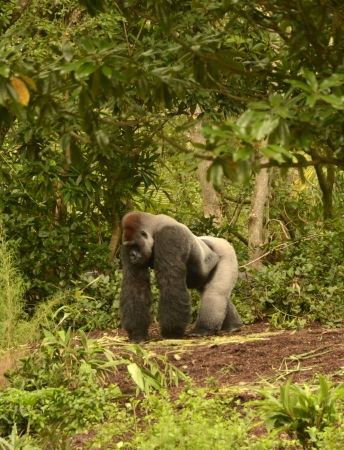 silverback: Silverback gorilla seen in its natural environment