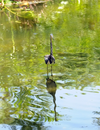 commonly: Tricolored heron  egretta tricolor  commonly seen in the Florida Everglades Stock Photo