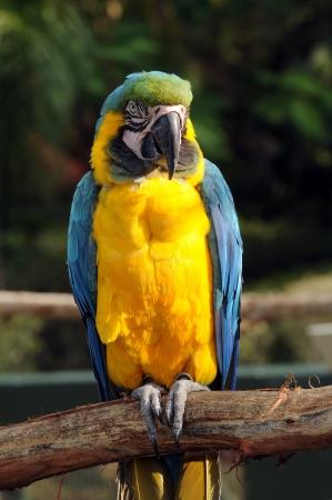 Exotische papegaai hoog op een bramch vooraanzicht Stockfoto