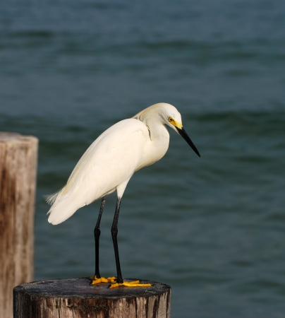 commonly: Snowy egret  egretta thula  commonly seen in Florida