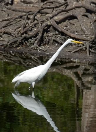 Great egret  ardea alba  seen in the Florida Everglades