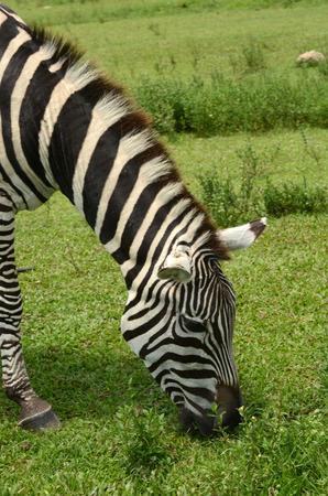 grazer: Wild zebra grazing in its natural environment Stock Photo