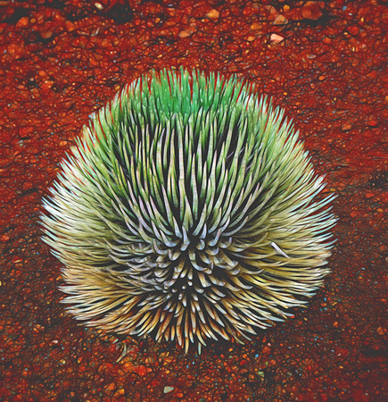 threatened: Haleakal? silversword only seen on the island of Maui, Hawaii