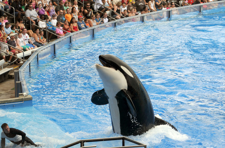 ORLANDO - FEBRUARY 25: SeaWorld trainer dies in killer whale attack in Orlando. Pictured: Killer whale greets visitors during show 版權商用圖片 - 35912010