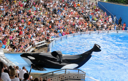 ORLANDO - FEBRUARY 25: SeaWorld trainer dies in killer whale attack in Orlando. Pictured: Killer whale greets visitors during show at Sea World, Orlando