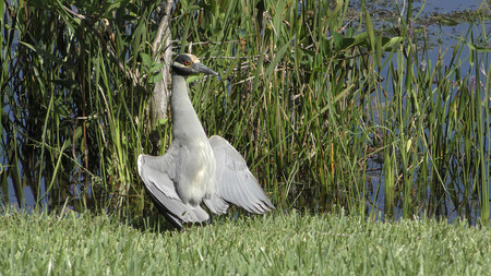 commonly: Yellow crowned night heron (Nyctanassa violacea) commonly seen in Florida