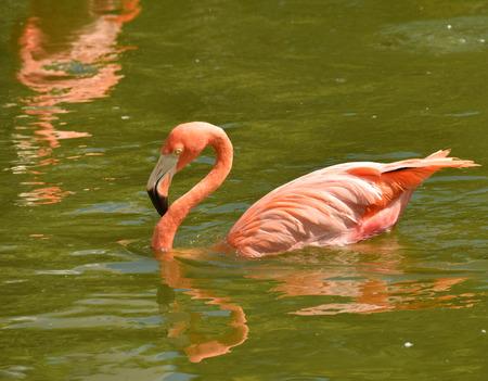 florida flamingo: Flamingo swimming in a Florida pond Stock Photo
