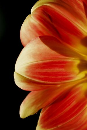 Red and yellow petals from half a flower isolated on black background