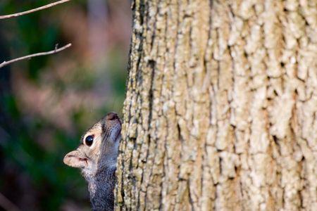Squirrel peeking from behind tree trunk