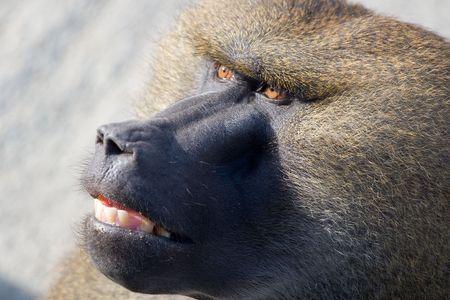 Close up of shaggy African baboon head Stok Fotoğraf