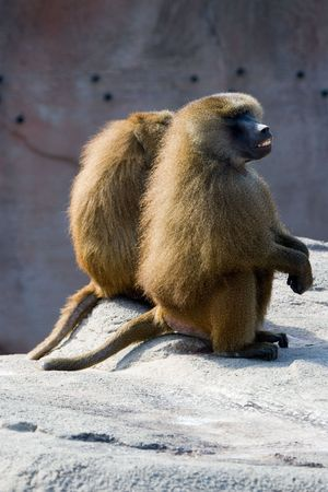 Two shaggy African baboons sitting together in friendship on rock Stok Fotoğraf