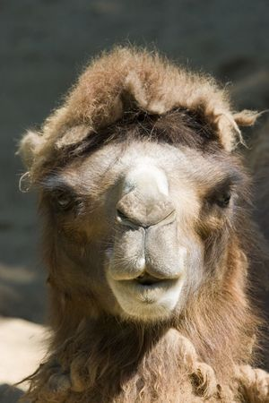 Close-up of camel head viewed from the front
