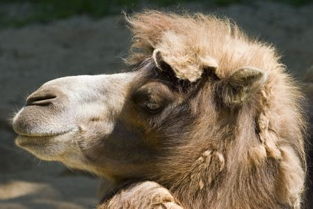 Close-up of camel head viewed from side Stok Fotoğraf