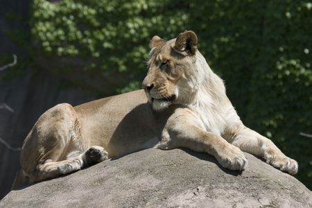 Lioness lying on rock in the sun looking over shoulder